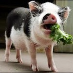 That's one healthy pig!